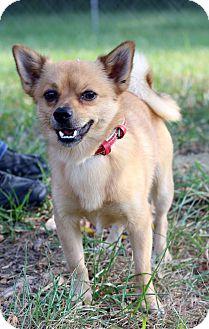 Pomeranian Mix Dog for adoption in Waldorf, Maryland - Bear