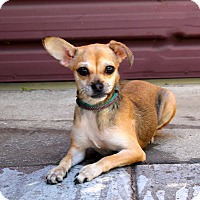 Pug/Chihuahua Mix Dog for adoption in Los Angeles, California - Twiggy - 8 pounds