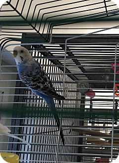 Parakeet - Other for adoption in Punta Gorda, Florida - Bluebird & iris