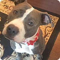 Pit Bull Terrier Mix Dog for adoption in New York, New York - Lyann/Layla