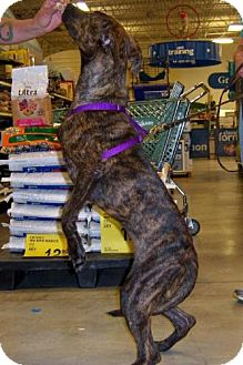 German Shepherd Dog Mix Dog for adoption in Orlando, Florida - Stevie