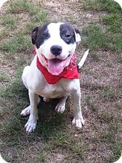Pit Bull Terrier Mix Dog for adoption in Snellville, Georgia - Milo