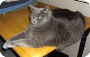 Domestic Mediumhair Cat for adoption in Sacramento, California - Dusty