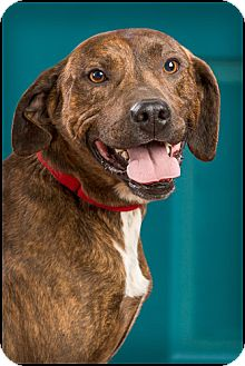 Boxer/Hound (Unknown Type) Mix Dog for adoption in Owensboro, Kentucky - Shifty