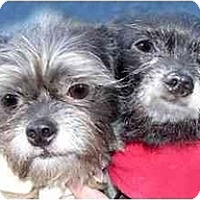 Adopt A Pet :: Toby and Teddy - New York, NY