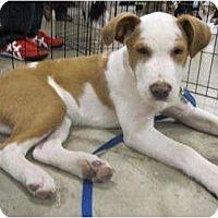 Adopt A Pet :: Sitka - Alexandria, VA