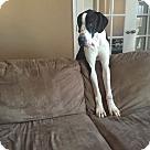 Adopt A Pet :: Dane