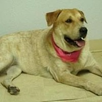 Coonhound/Labrador Retriever Mix Dog for adoption in Scottsdale, Arizona - Lotti