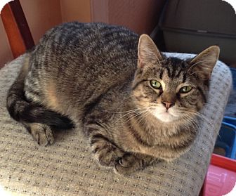 Domestic Shorthair Cat for adoption in Warren, Michigan - Lily