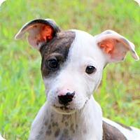 Adopt A Pet :: Lamar~ meet me! - Glastonbury, CT