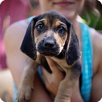 Adopt A Pet :: Gerald - Brattleboro, VT