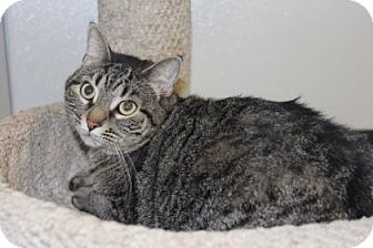 Domestic Shorthair Cat for adoption in Greensboro, North Carolina - Clover