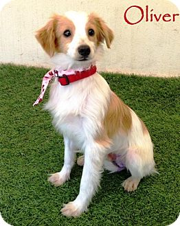 Pomeranian Mix Puppy for adoption in San Diego, California - Oliver