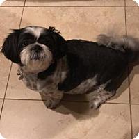 Shih Tzu Dog for adoption in Davie, Florida - Mookie