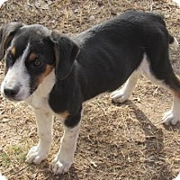 Adopt A Pet :: rambo - Aurora, CO