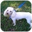 Photo 3 - Poodle (Miniature) Dog for adoption in The Villages, Florida - Betzee