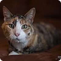 Adopt A Pet :: **Tigre** - St. Louis, MO