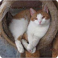 Domestic Shorthair Cat for adoption in Conway, South Carolina - Pumpkin