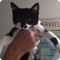 Adopt A Pet :: Sonata - Santa Monica, CA