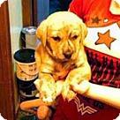 Adopt A Pet :: Shep Lab 3