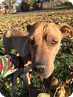 Shar Pei Mix Dog for adoption in Littleton, Colorado - DASIA