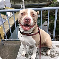 Adopt A Pet :: Koa - Richmond, CA
