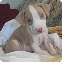 Adopt A Pet :: Tp Litter - Bogart - ADOPTION PENDING - Livonia, MI