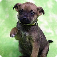 Adopt A Pet :: Biaggio - Westminster, CO