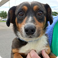 Adopt A Pet :: FOXTROT - Adoption Pending - Hurricane, UT
