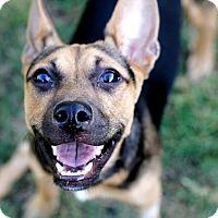 Adopt A Pet :: Sawyer - Austin, TX