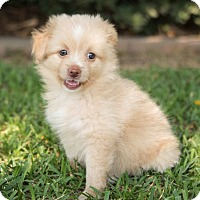 Adopt A Pet :: Spice - La Habra Heights, CA