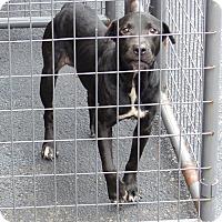 Adopt A Pet :: Kayda - Marlinton, WV