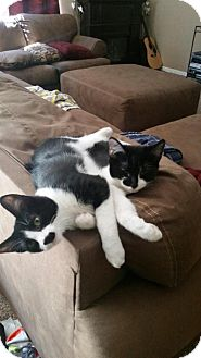 Domestic Shorthair Kitten for adoption in Knoxville, Tennessee - Ace & Arie BONDED SIBLINGS