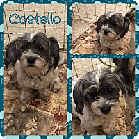 Adopt A Pet :: Costello - New Milford, CT