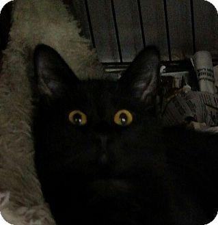 Domestic Shorthair Kitten for adoption in Yuba City, California - Ashley