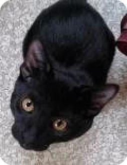 Domestic Shorthair Kitten for adoption in Fairfax, Virginia - Ford