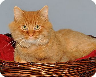 Domestic Shorthair Cat for adoption in Gatineau, Quebec - Robin