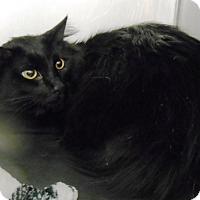 Adopt A Pet :: Midnight - Redding, CA