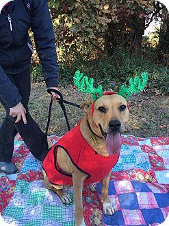 Carolina Dog/Labrador Retriever Mix Dog for adoption in Salisbury, North Carolina - Ember Lou