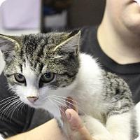 Domestic Shorthair Kitten for adoption in Washington, D.C. - Benedict
