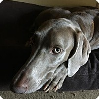 Weimaraner Dog for adoption in Sarasota, Florida - Reina