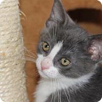 Adopt A Pet :: Berti KITTEN - tampa, FL