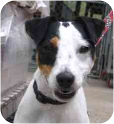 Jack Russell Terrier Dog for adoption in Omaha, Nebraska - Maverick