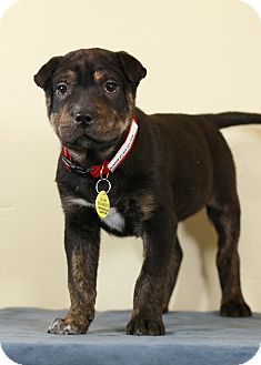Shepherd (Unknown Type) Mix Puppy for adoption in Westminster, Colorado - Rumor