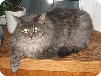 Persian Cat for adoption in Huntsville, Ontario - Smokey