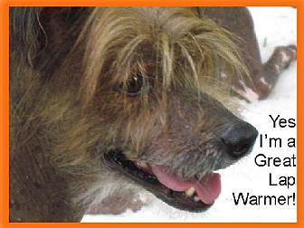 Chinese Crested Dog for adoption in Kingston, New York - Macon (NC)