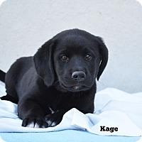 Adopt A Pet :: Kage - Old Saybrook, CT