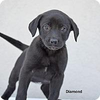 Adopt A Pet :: Diamond - Old Saybrook, CT