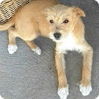 Adopt A Pet :: Dolly-ADOPTION PENDING - Boulder, CO
