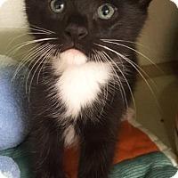 Domestic Shorthair Kitten for adoption in Key Largo, Florida - Socks